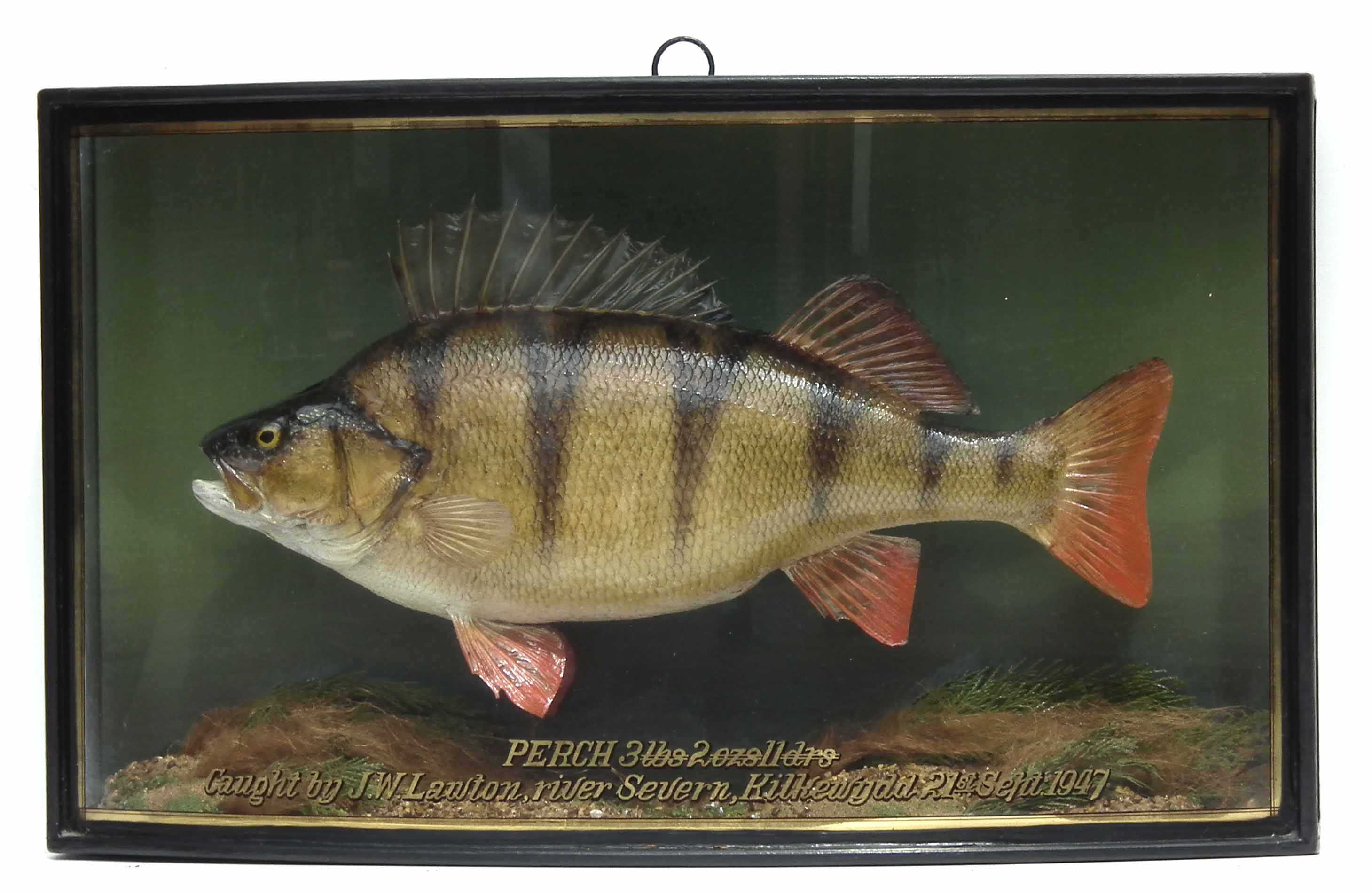 J. Cooper & Sons cased taxidermy Perch