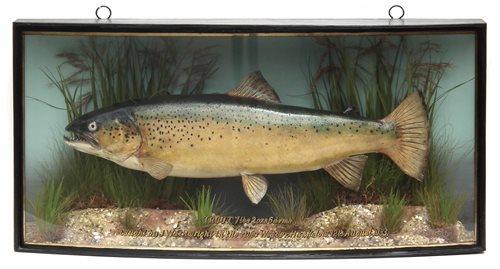 3 - J. Cooper & Sons cased taxidermy Trout